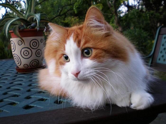 races de chat pour vivre avec un chien : Angora Turc