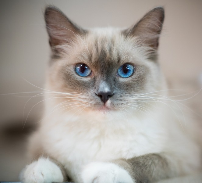 Races de chat : Ragdoll