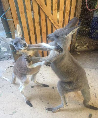 kangourous au refuge Kangaloola Wildlife shelter