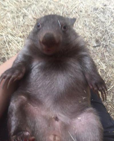 petit wombat au refuge Kangaloola Wildlife shelter