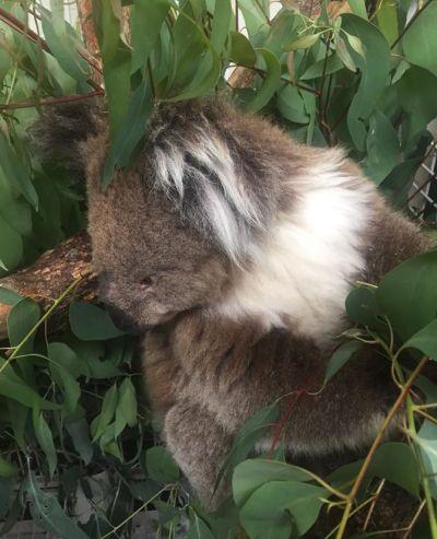 koala au refuge Kangaloola Wildlife shelter
