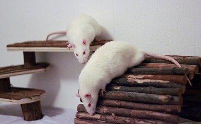 réhabilitation des animaux de laboratoire