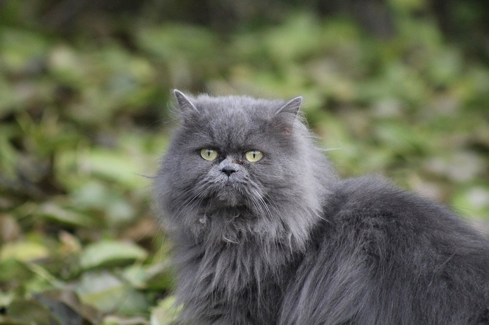Comment bien nettoyer les yeux de son chat persan