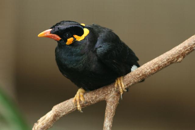 Mainate religieux : oiseau chanteur
