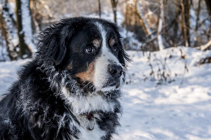 Races de chien qui aiment le froid : Bouvier Bernois