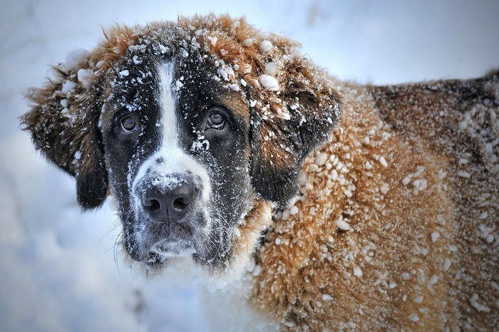 Saint Bernard, race qui supporte bien le froid