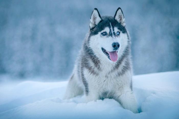 Races de chien, Husky Sibérien