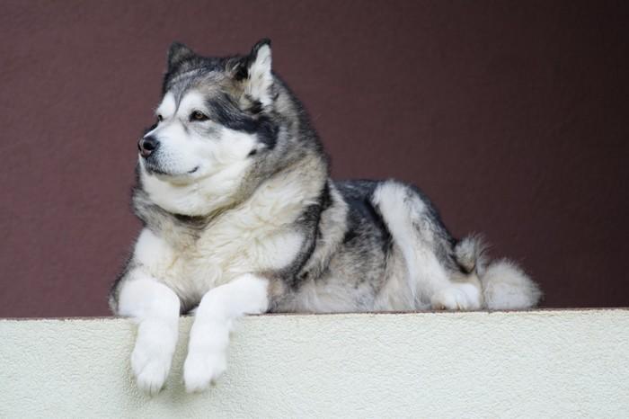 Races de chien qui supportent bien le froid