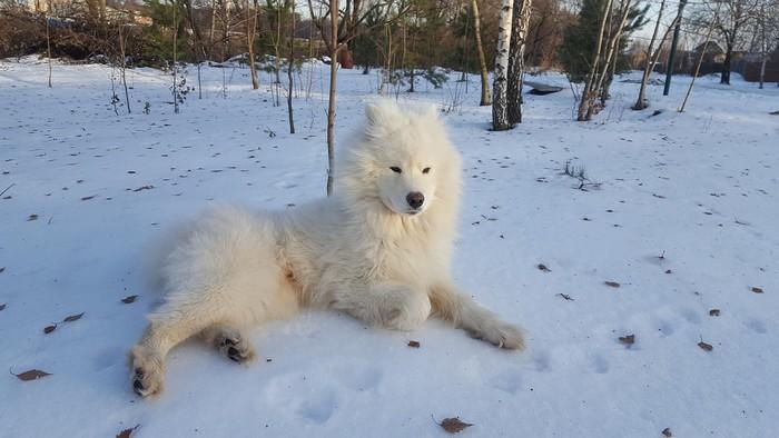 Races de chien résistantes au froid : Samoyède