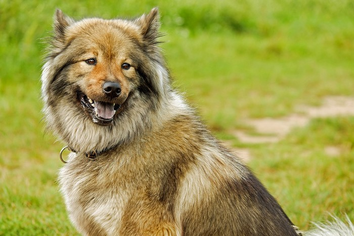 Spitz Loup, race résistante aux températures basses