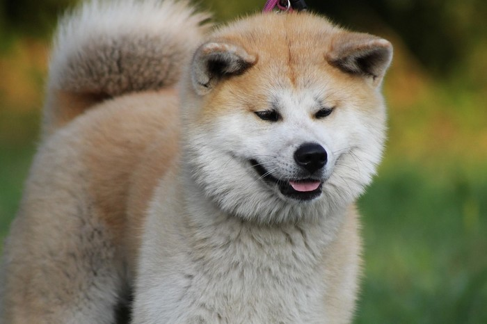 Akita Inu, race de chien résistante au froid