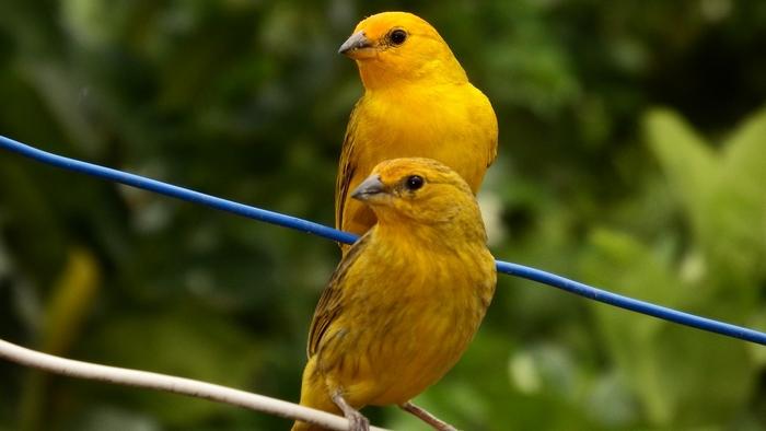 comment apprendre un canari à chanter
