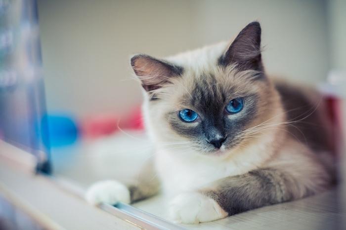 races de chats câlins : le Ragdoll