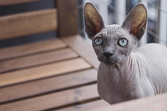 races de chat affectueuses : les sphynx