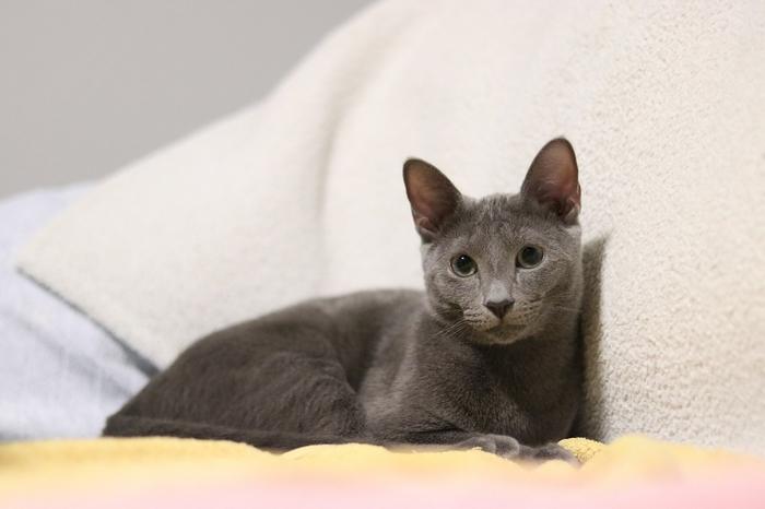 races de chat câlines : le Bleur Russe