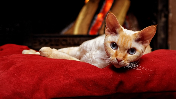 chat affectueux : le Devon Rex