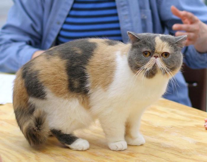 L'Exotic Shorhair, chat câlin et affectueux