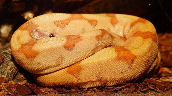 reconnaître un serpent malade