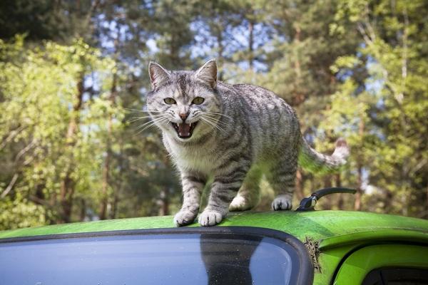 Remèdes pour chat malade en voiture