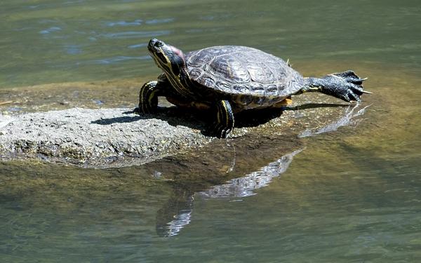 Durée de vie d'une tortue aquatique domestique