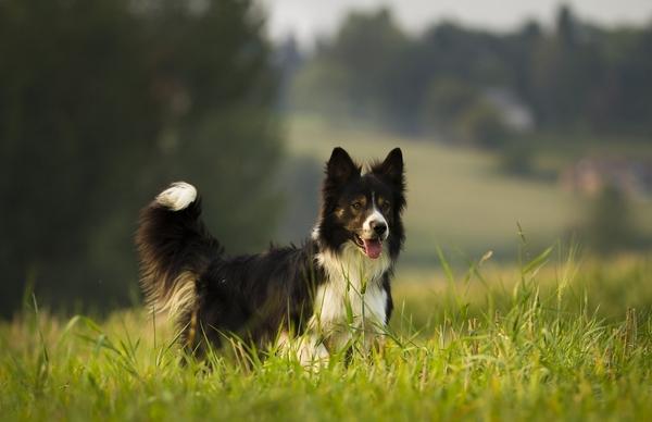 Top 10 chiens intelligents : Border collie
