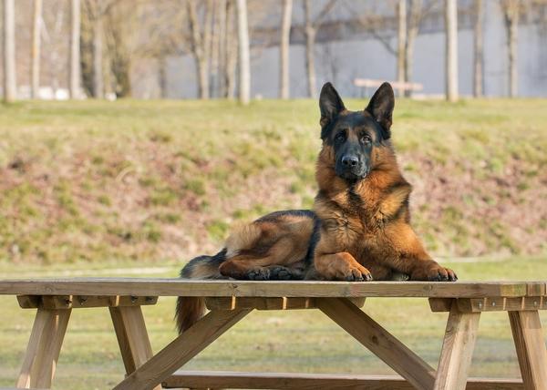 Top races de chien les plus intelligentes : Berger allemand