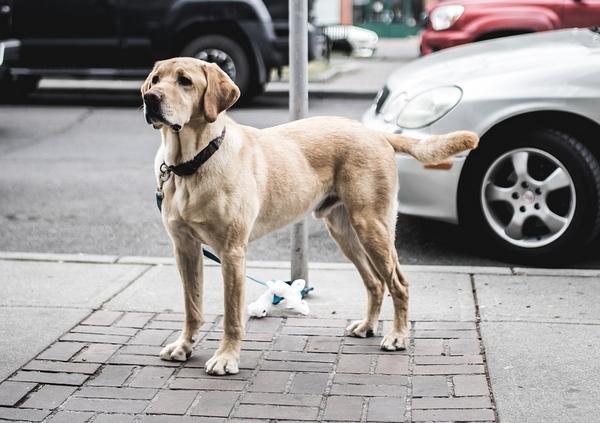 Labrador dans le top 10 des races de chien intelligentes