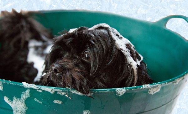 Quand laver son chien ?