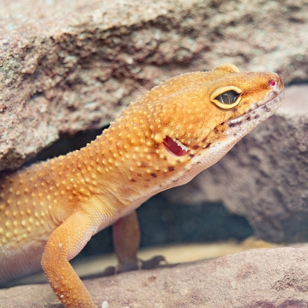 Conseils pour bien s'occuper d'un Gecko Léopard quand on débute