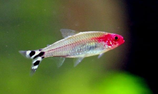 Nez-rouge (Hemigrammus bleheri), compatibilité avec Guppy