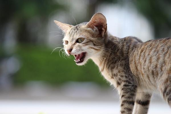 Pourquoi mon chat me suit partout en miaulant