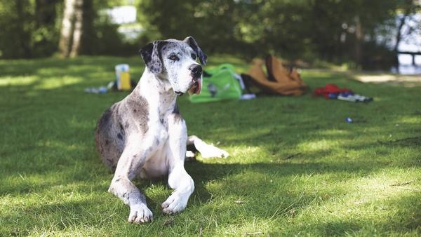 Le Dog allemand : race de chien calme et facile