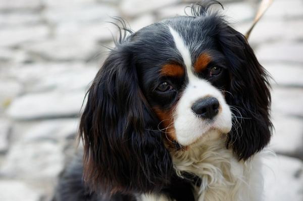 Races de chien calmes : Cavalier King Charles