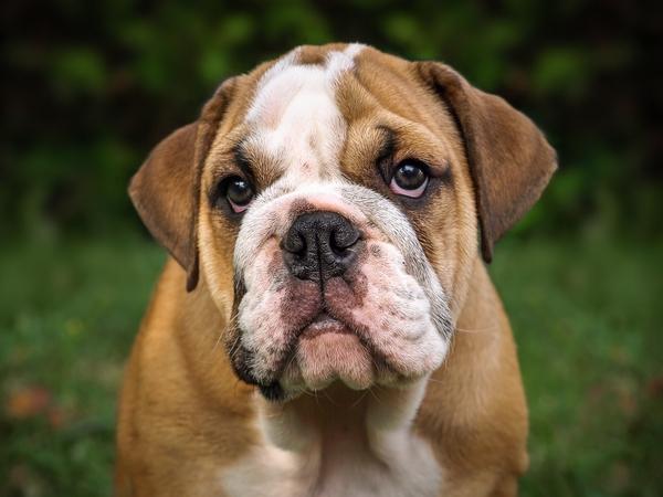 Le Bulldog Anglais : chien docile et sédentaire