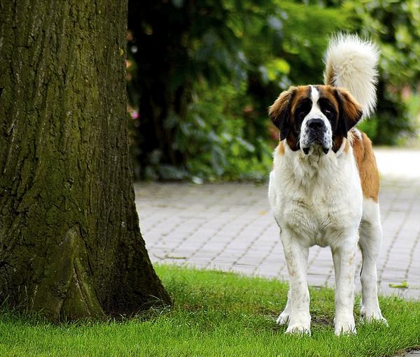 Le Saint-Bernard : race de chien calme et pacifique
