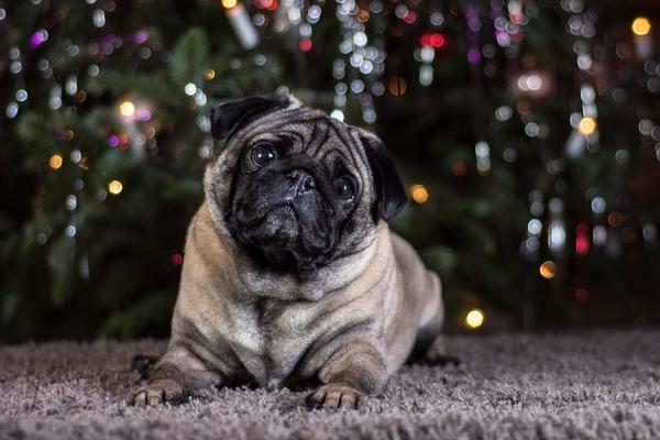 Le Carlin : race de chien pour vivre en appartement