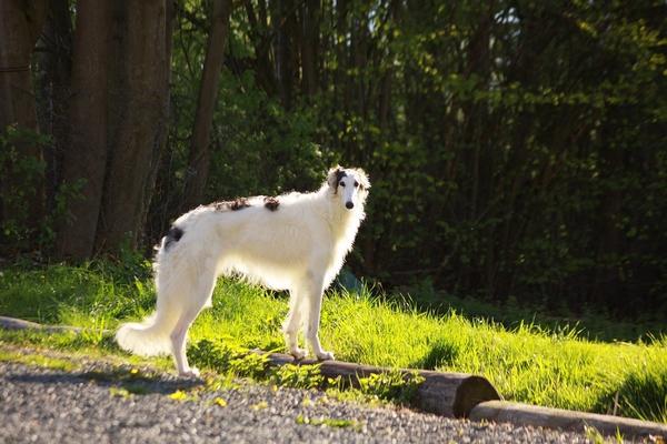 Races de chien calmes et faciles à vivre : Le Barzoï