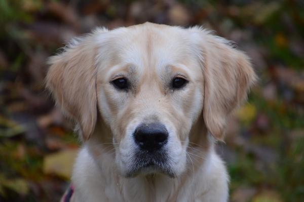 Le Golden-Retriever : race de chien facile à vivre