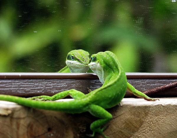 L'anolis vert - un lézard parfait pour débutant