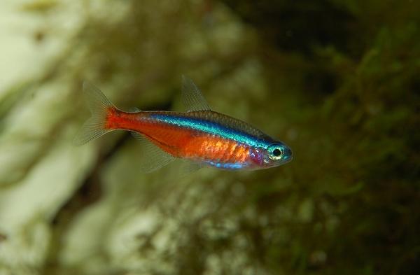 Characidés et discus : quel poisson tropical avec des discus pour une bonne cohabitation