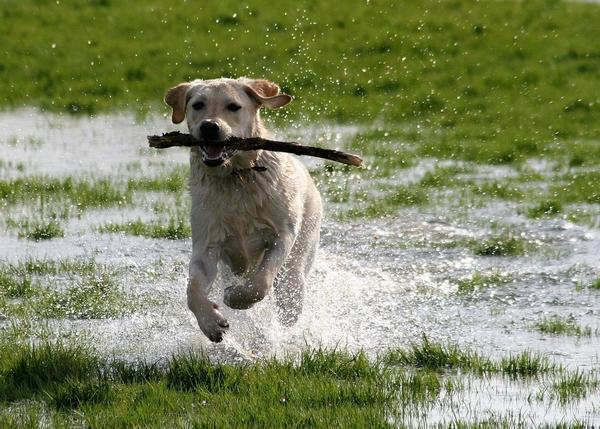 Chiens qui aiment l'eau : le Labrador