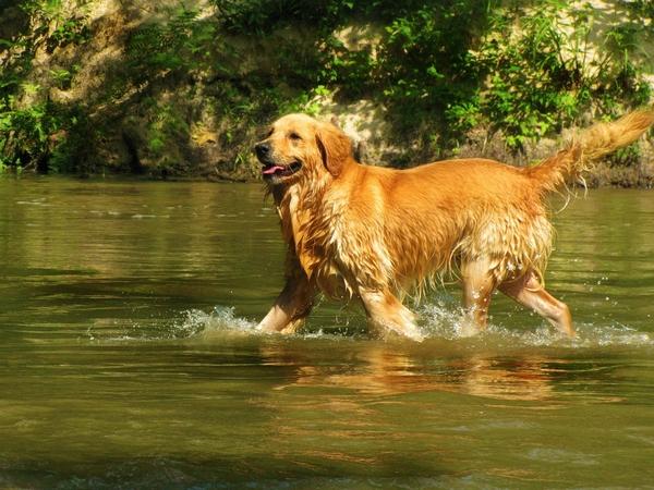 Chiens qui aiment l'eau : le Golden Retriever