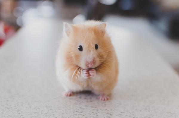 le langage du hamster