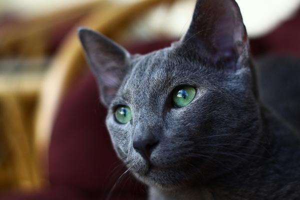 Meilleurs chats hypoallergéniques : Bleu russe
