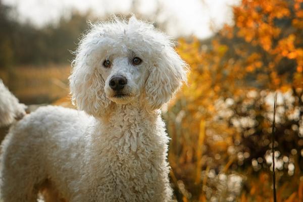 Races de chiens hypoallergéniques : Caniche