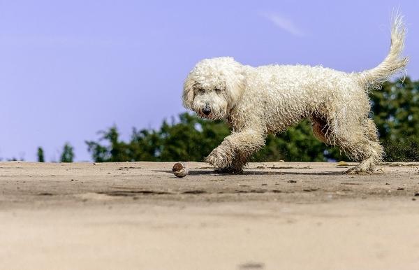Races de chiens hypoallergéniques : Goldendoodle