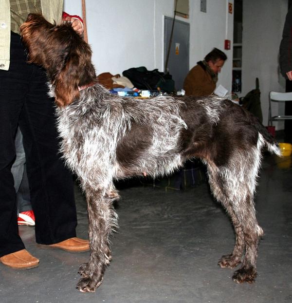 Meilleurs chiens d'arrêt : Barbu tchèque