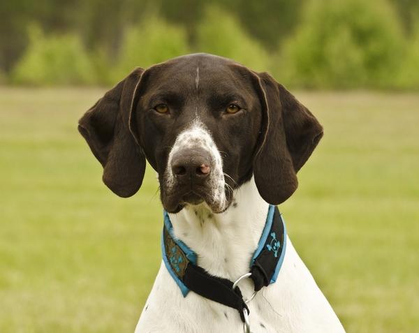Meilleurs chiens d'arrêt : Braque allemand