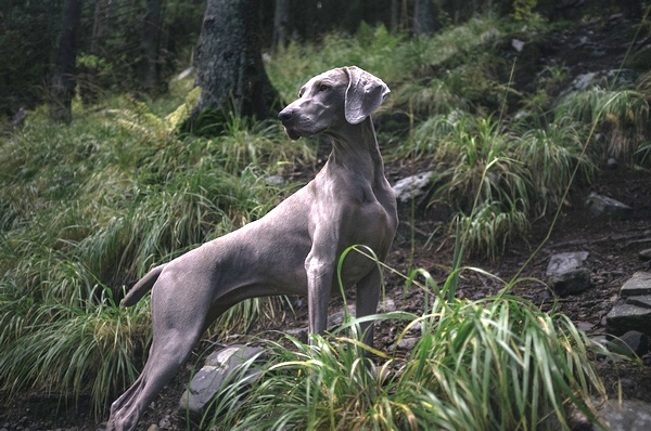 Meilleurs chiens d'arrêt : Braque de Weimar