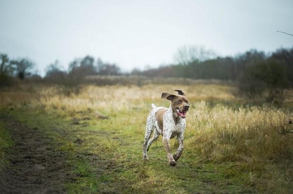 Meilleurs chiens d'arrêt : Braque français